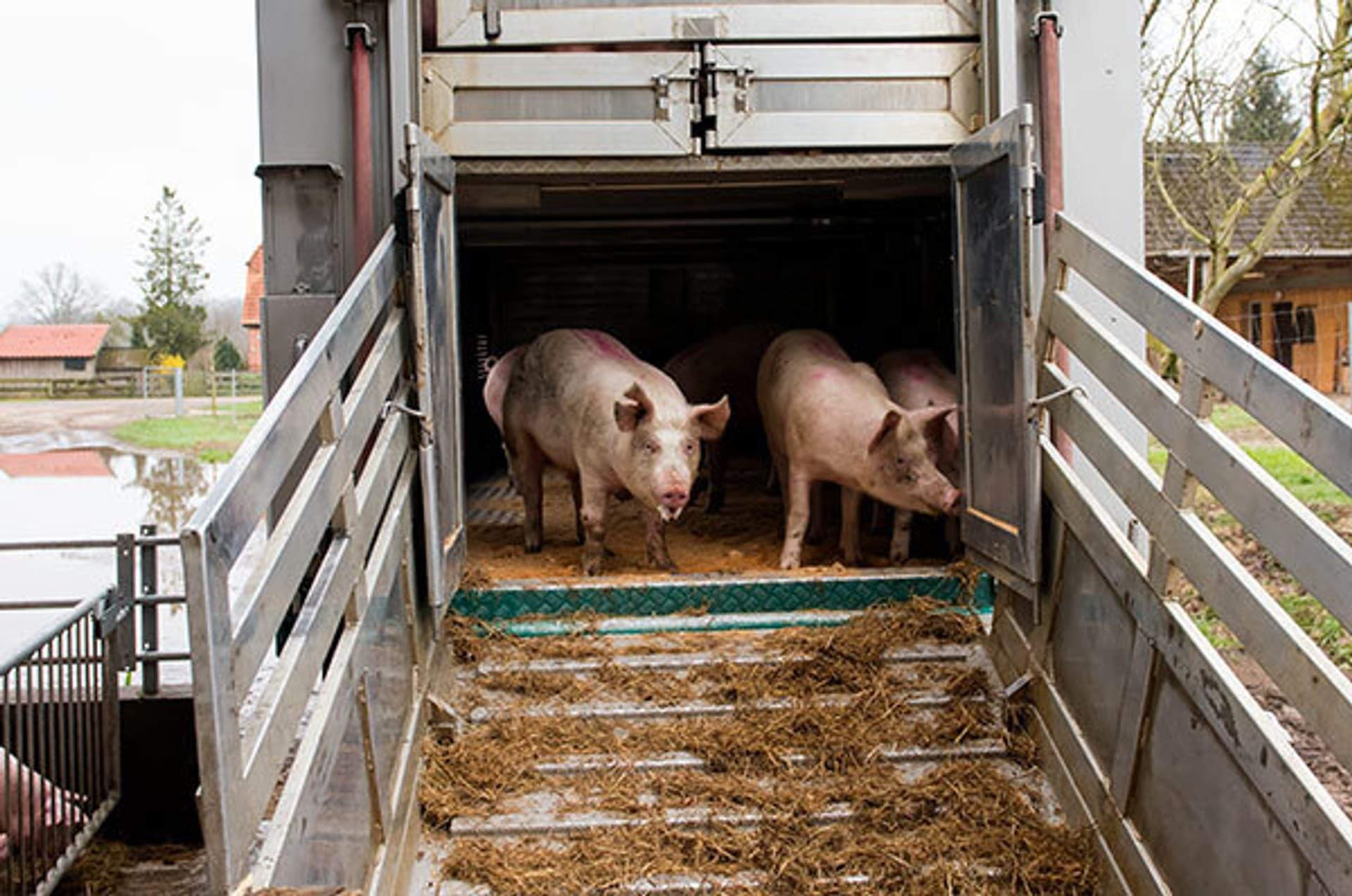 Schweine an einer Laderampe.