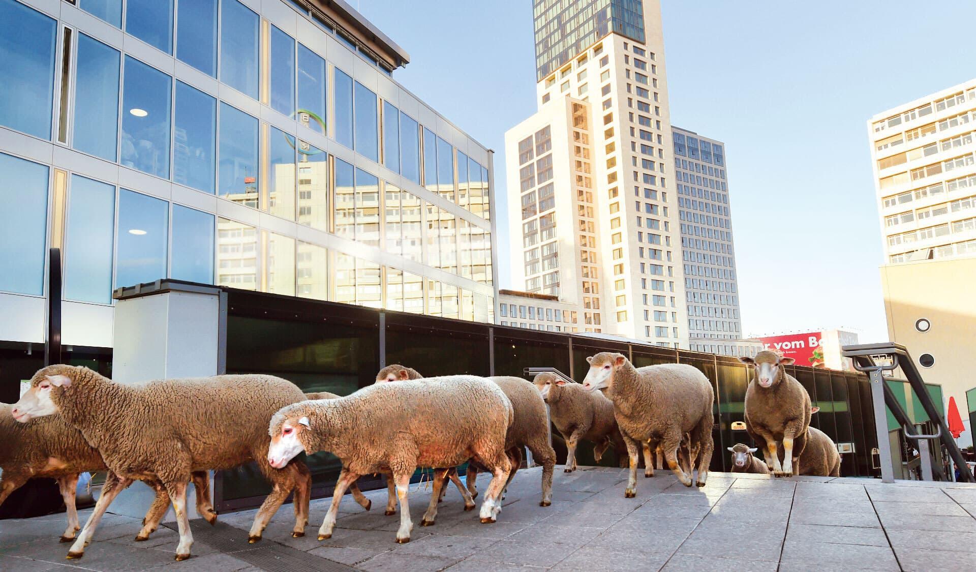 Schafe kommen eine Unterführung in der Stadt hochgelaufen
