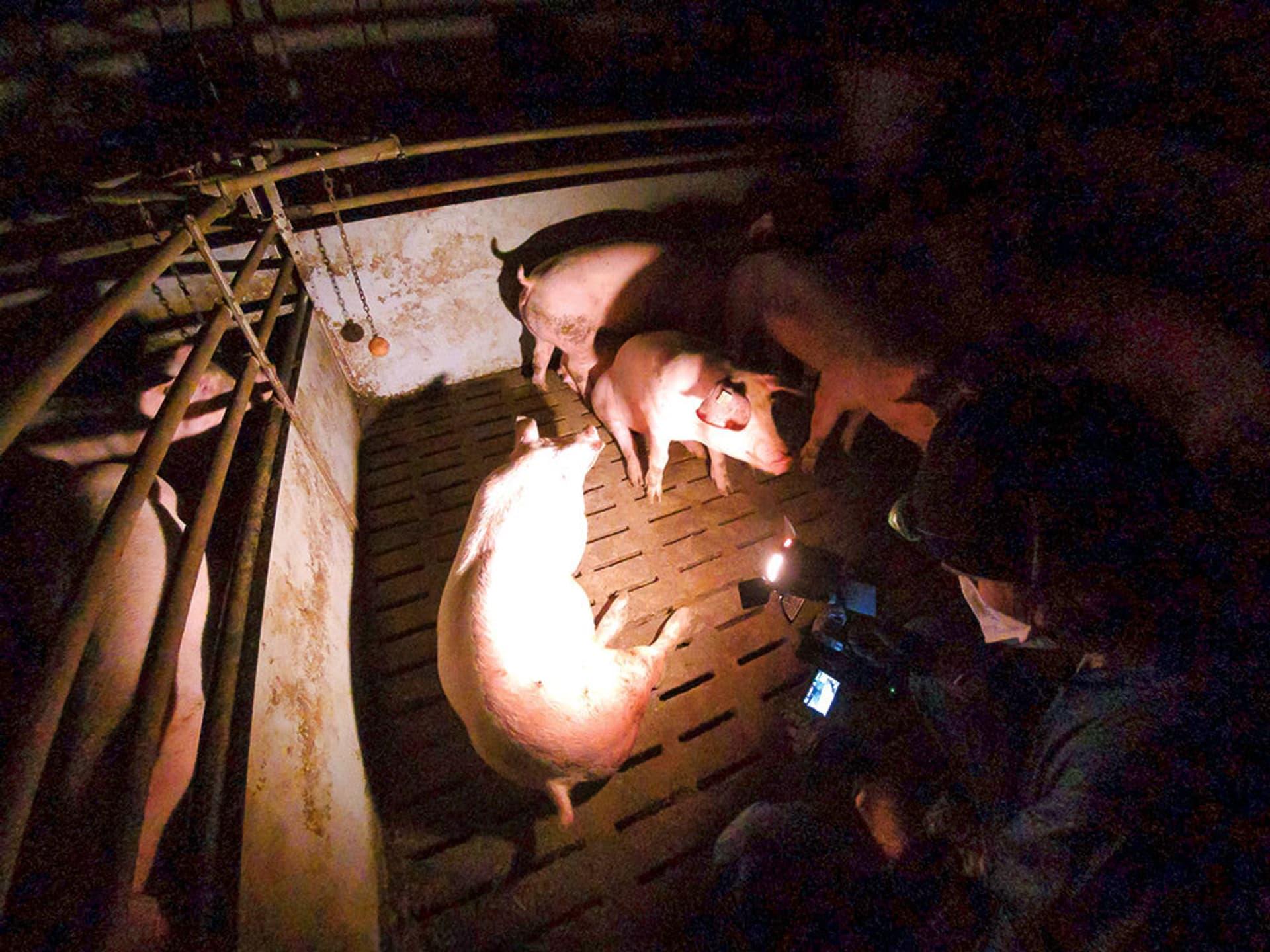 Tieraktivistin filmt Schweine in einem Stall.