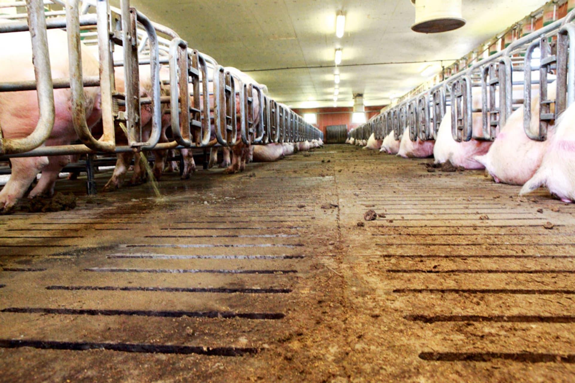 Ein riesiger Stall voll eng aneinander gereihter Schweine auf hartem Boden.