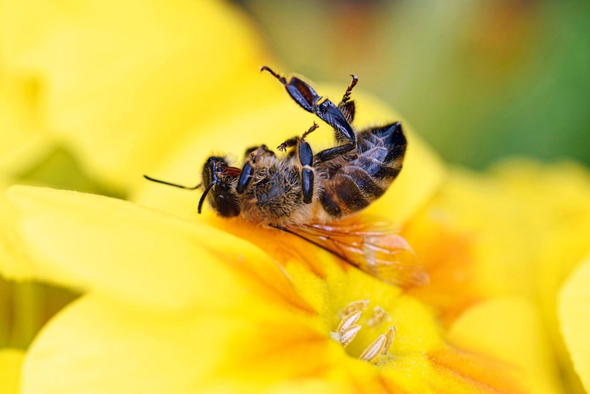 Tote Biene auf Blume
