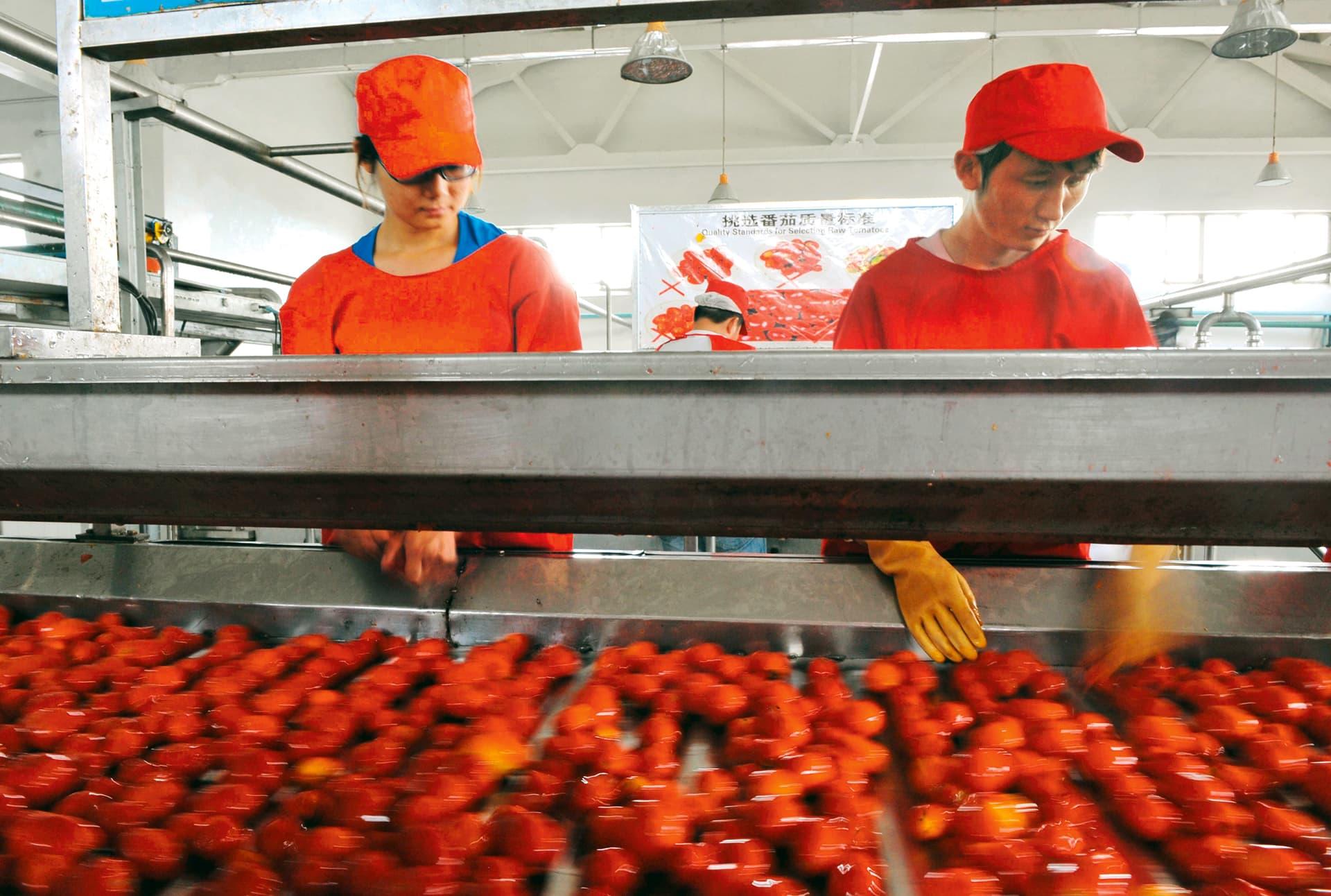 Zwei asiatisch aussehende Menschen in roter Kleidung sortieren Tomaten auf einem Laufband
