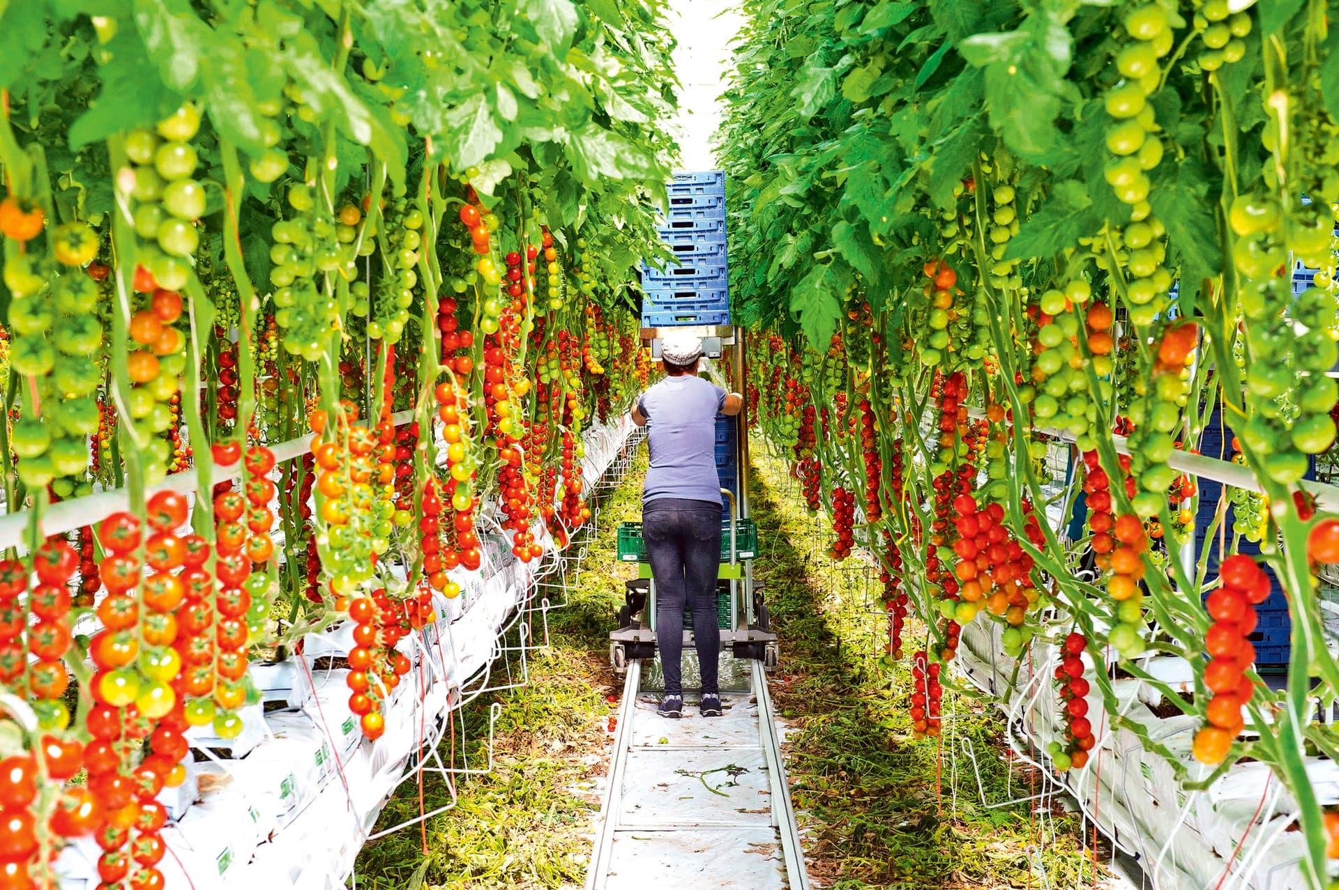 Zwischen zwei Reihen mannshoher Tomatenpflanzen läuft eine Frau hindurch.