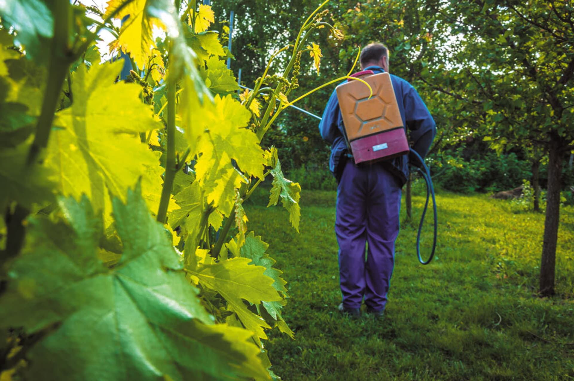 Ein Mann mit einem großen Kanister auf dem Rücken sprüht mit einem Schlauch Pestizide auf Pflanzen