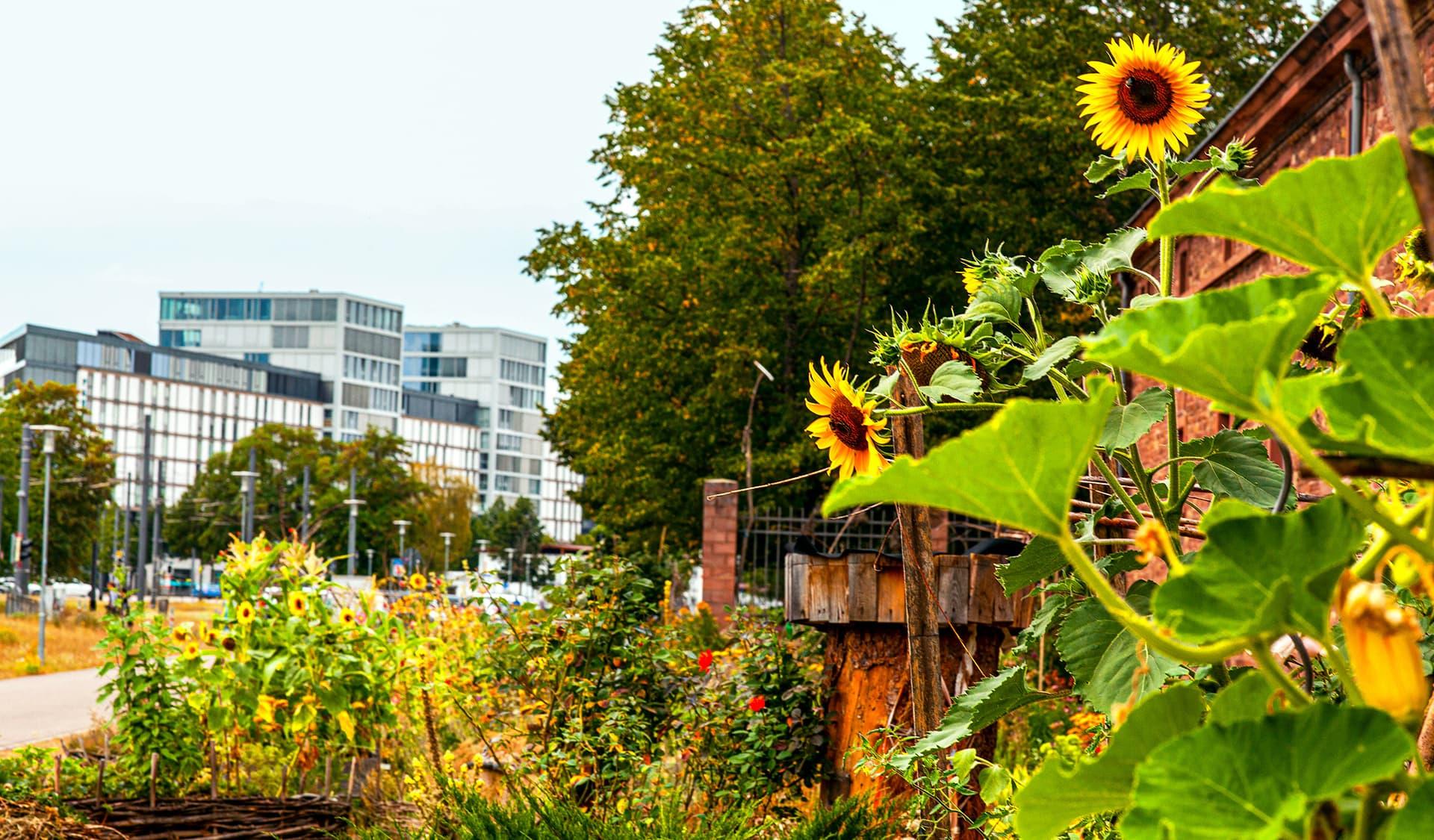 Sonnenblumen im Vordergrund, Bürohäuser im Hintergrund