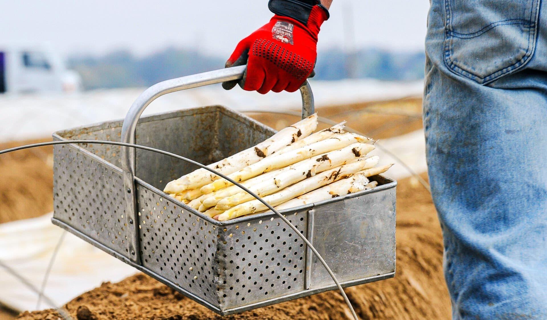 Erntehelfer trägt Korb mit frisch geerntetem Spargel