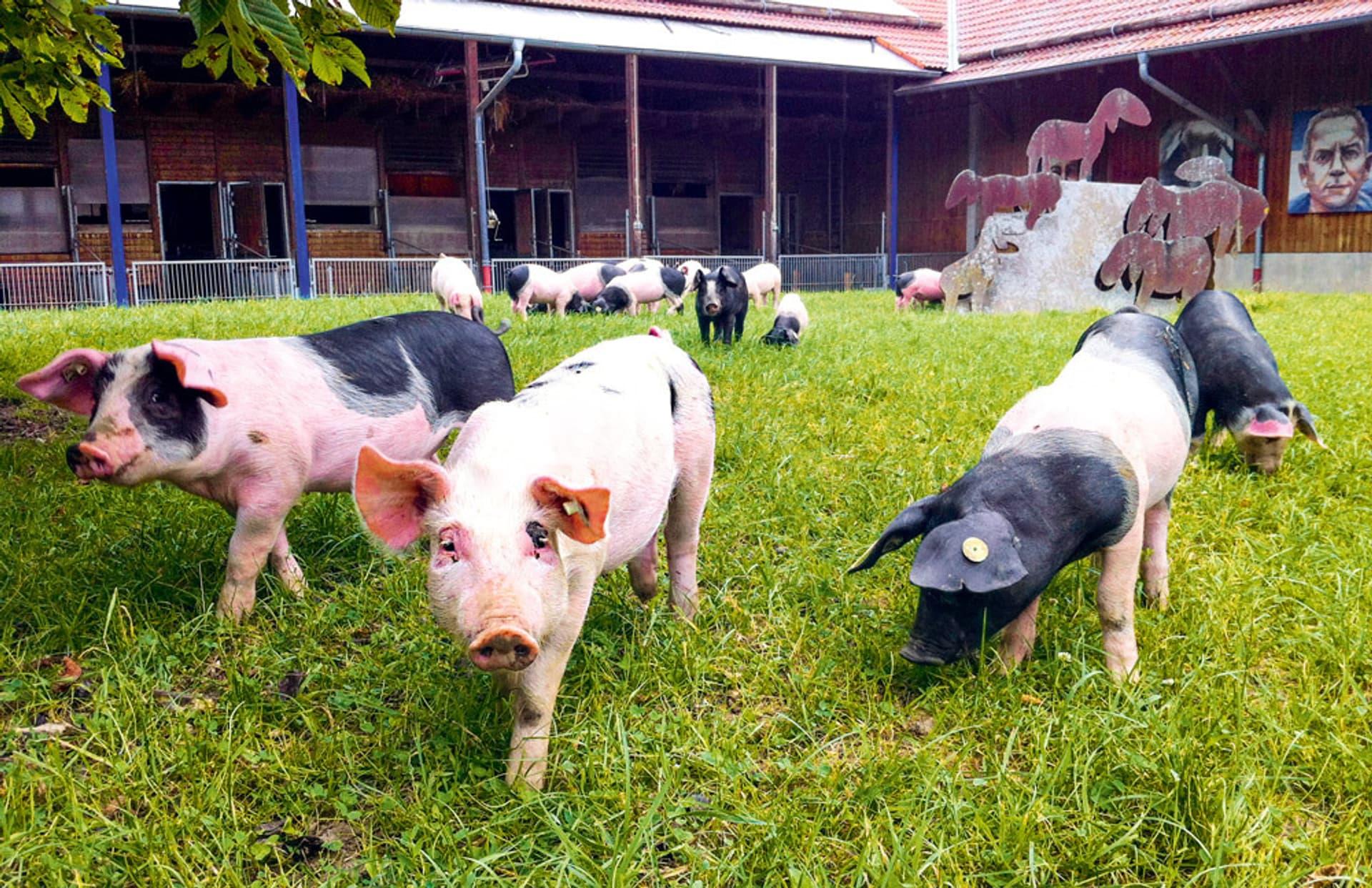 Vier gefleckte Schweine auf einer grünen Wiese