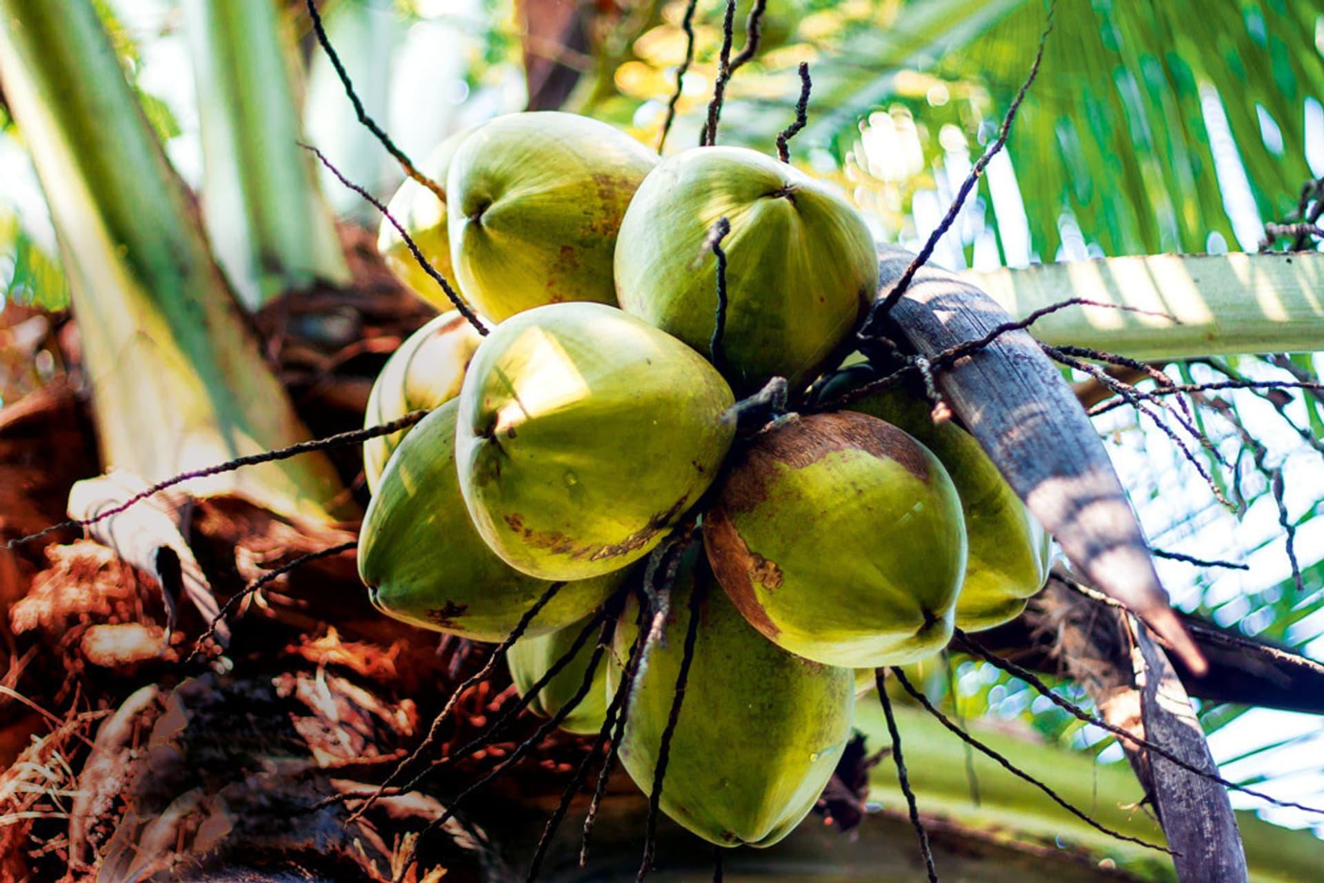 Grüne, unreife Kokosnüsse, die an einer Kokospalme hängen.