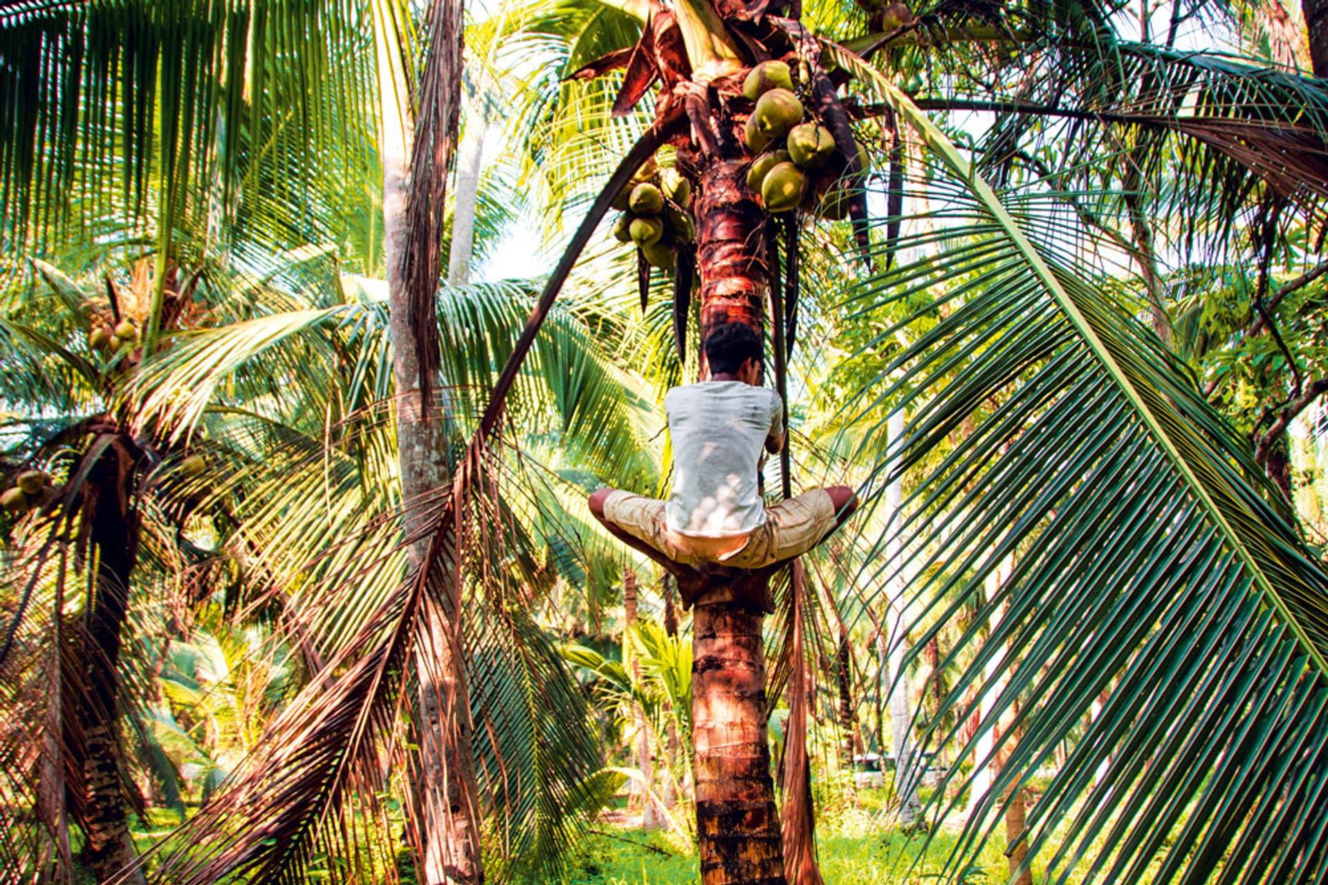 Ein Mann kletttert am Stamm einer Kokosnusspalme hoch, um ihn herum sind noch mehr Palmen.