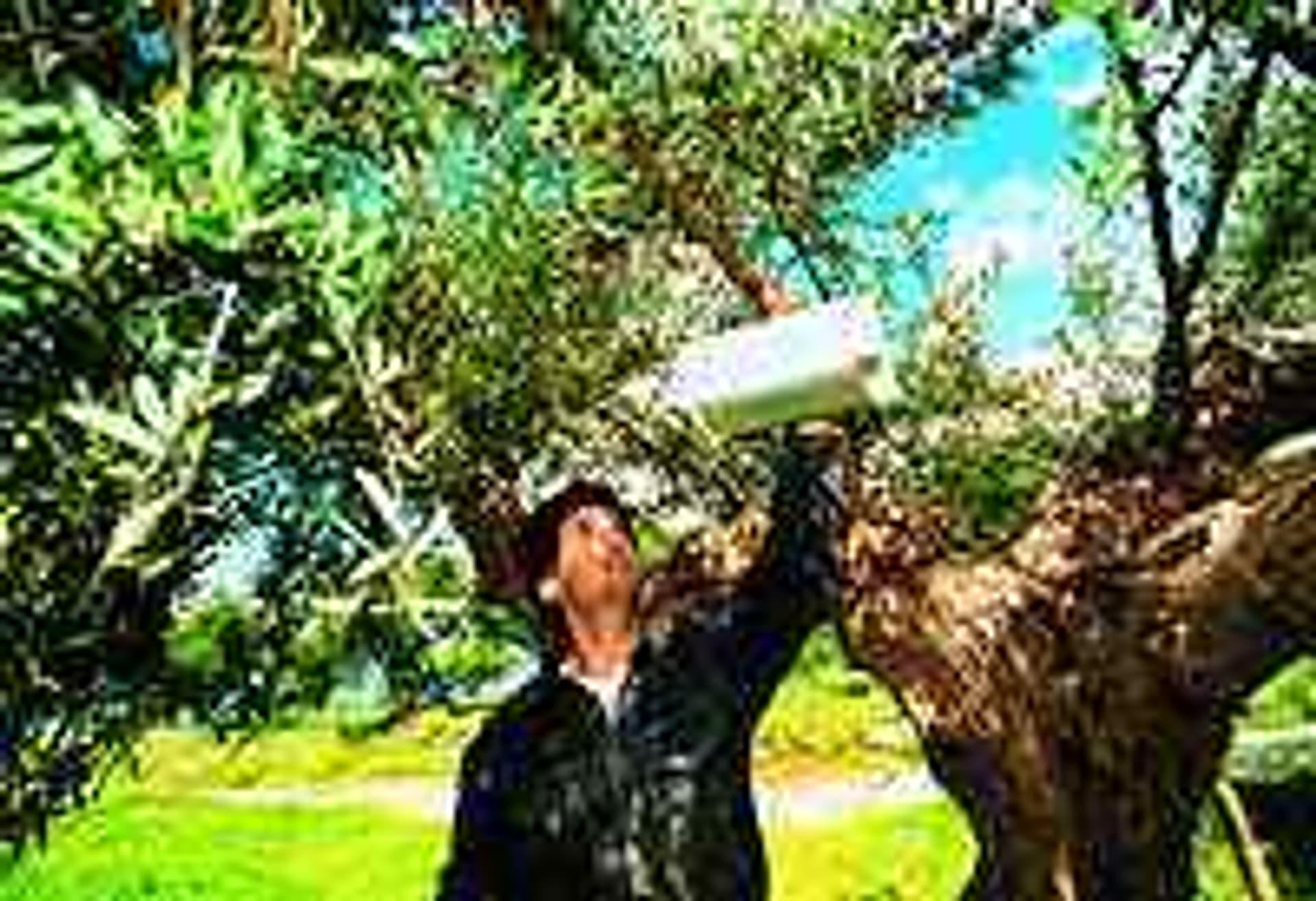 Glosse mannolivenbaum
