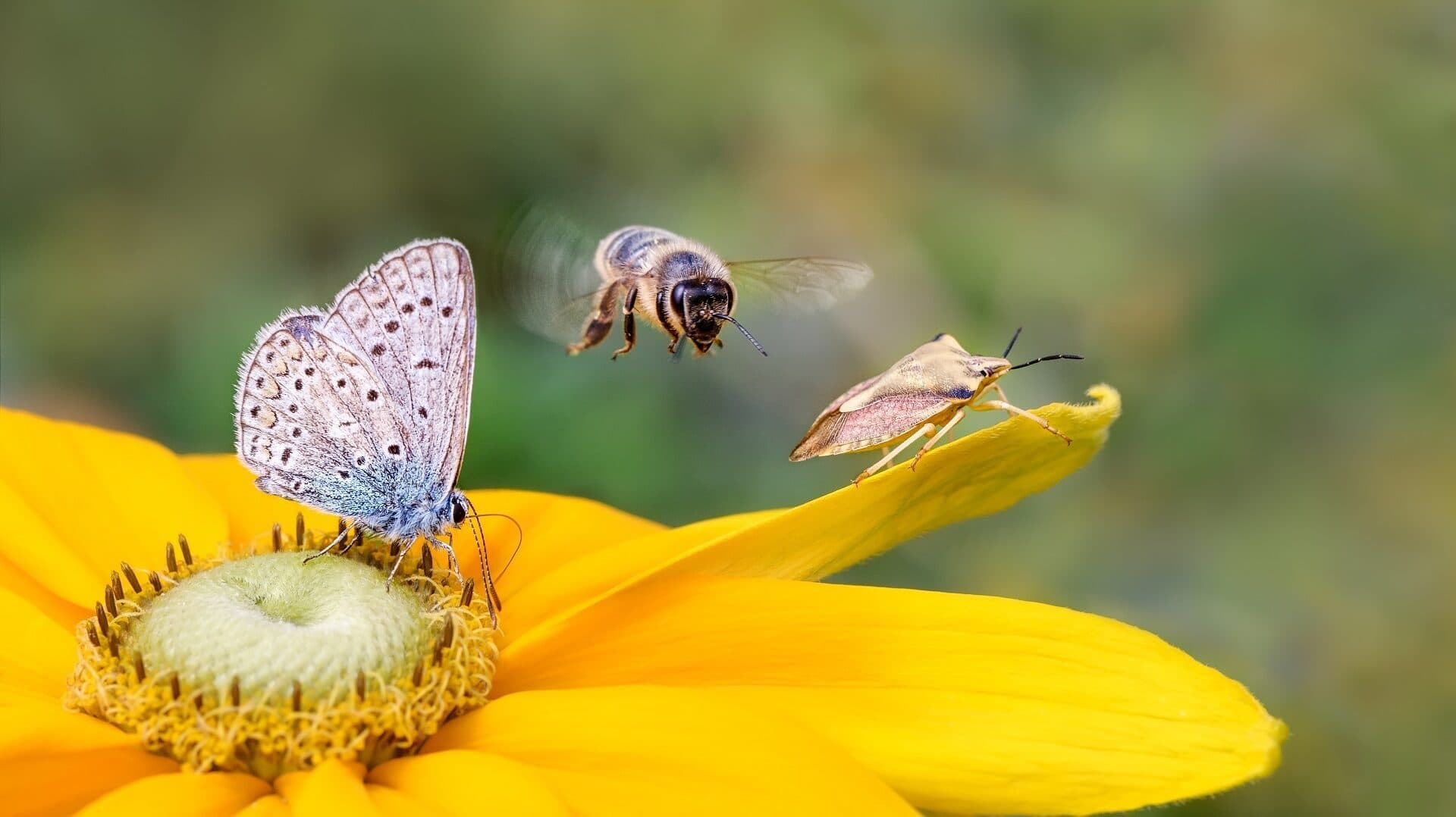 Schmetterling und Biene an gelber Blüte