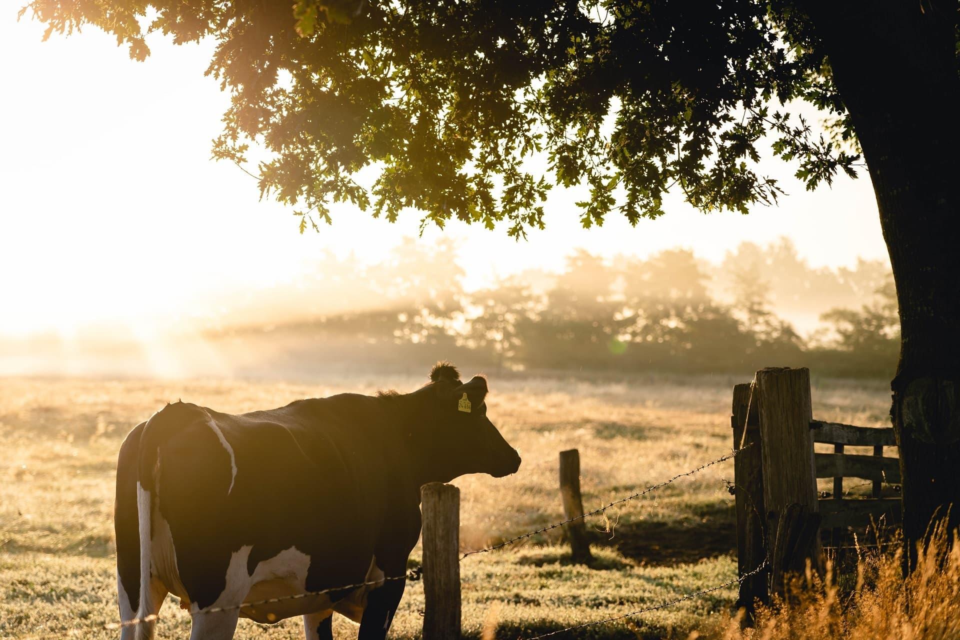 Kuh auf Weide in der Morgensonne