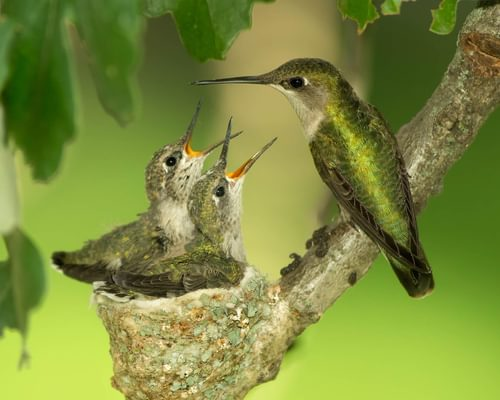 Baby Hummingbirds: All You Need to Know (with Pictures)