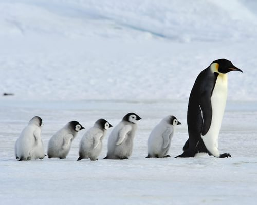 Baby Penguins: Ultimate Guide (with Pictures)