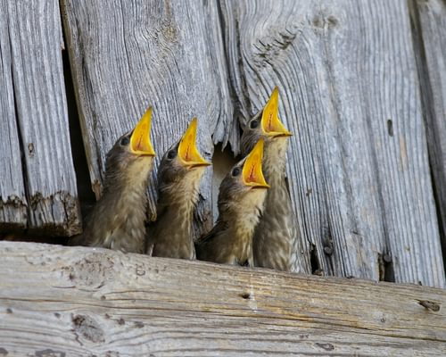 Baby Starlings: All You Need To Know