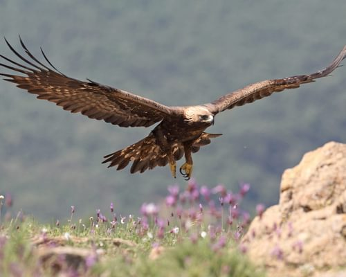 Bald Eagle or Golden Eagle: What Are the Differences?