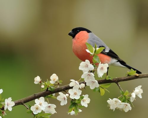 Eurasian Bullfinch or Common Chaffinch: How to Tell the Difference?