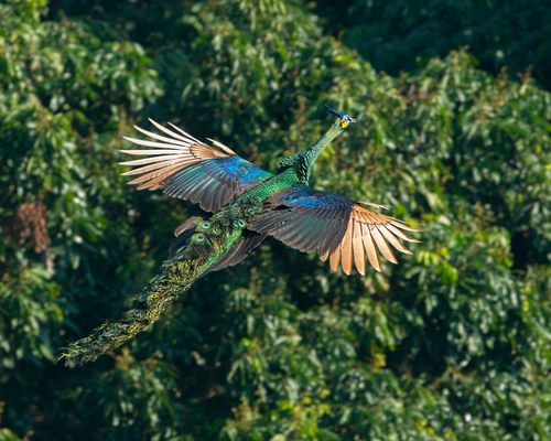 Can Peacocks Fly? All You Need To Know