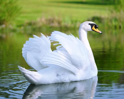 Can Swans Fly? (What You Need to Know)