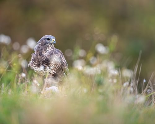 Common Buzzard or Red Kite - how to tell the difference?
