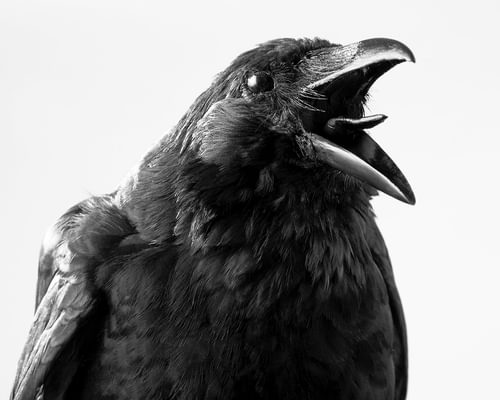 Crow Puns: Our Collection of Funny Crow Puns