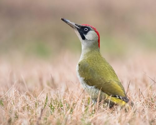 Do Birds Eat Ants? (Complete Guide)