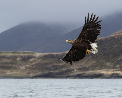 Eagles in the UK (Types And Where To Find Them)