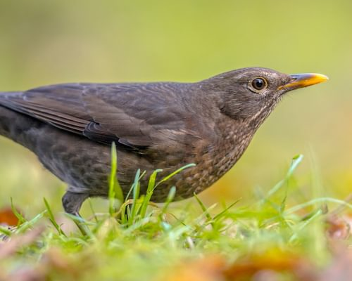 Female Blackbirds: Everything you need to know