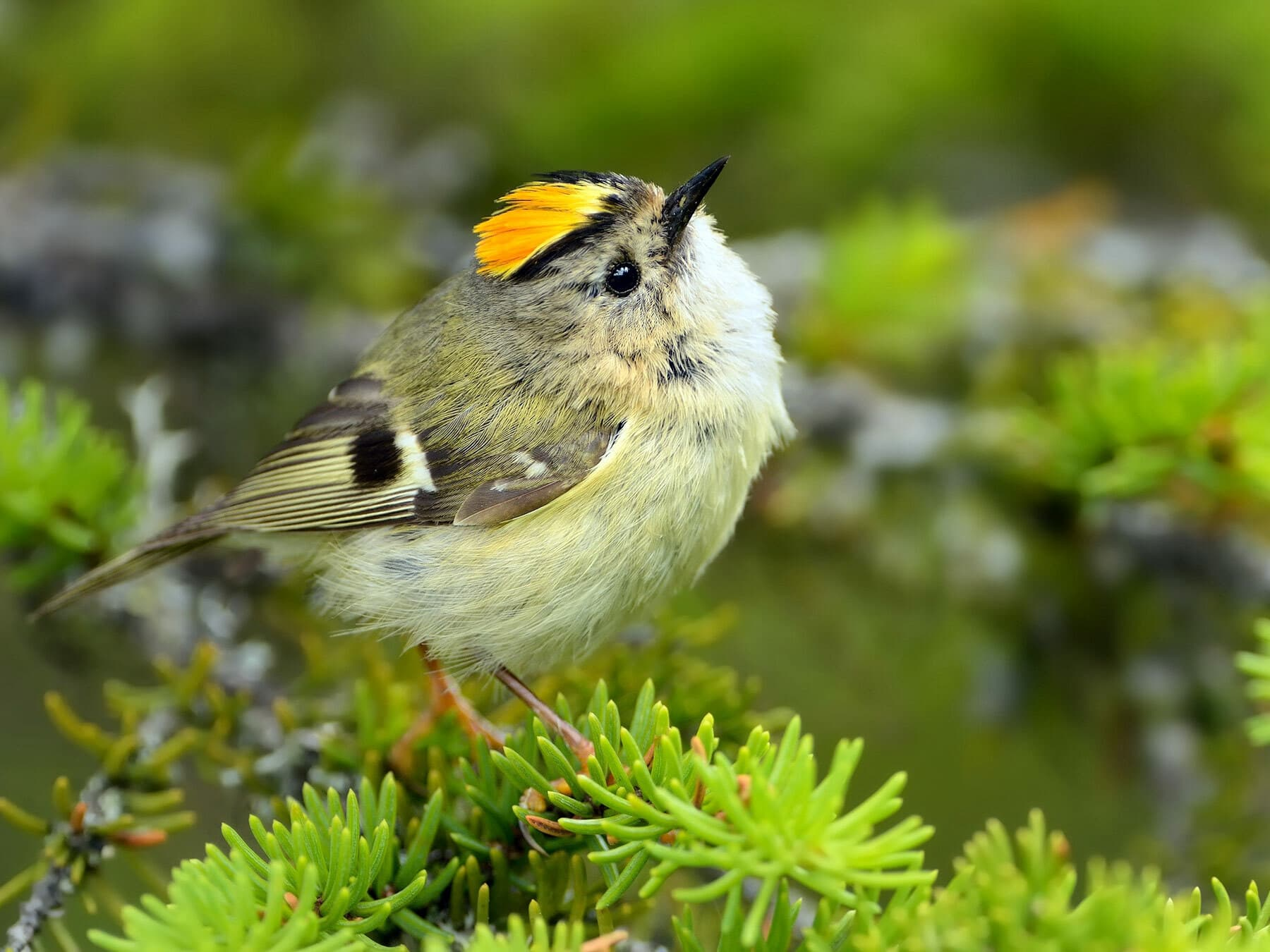 Kinglets and firecrests