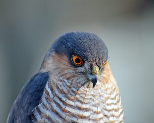 Common Kestrel or Eurasian Sparrowhawk (How to Tell the Difference)