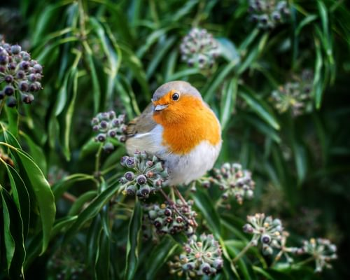 Male and Female Robins: How to tell the difference?