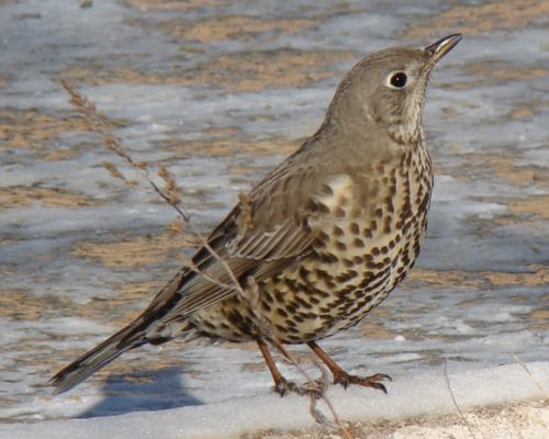 Mistle Thrush or Song Thrush: How to Tell the Difference?