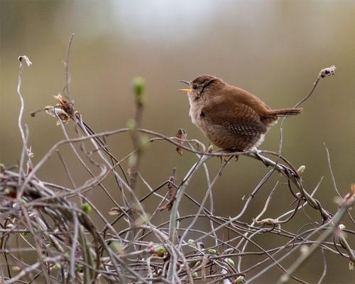 The most common bird in the UK