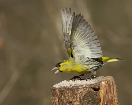 Siskin or Greenfinch: How To Tell The Difference?