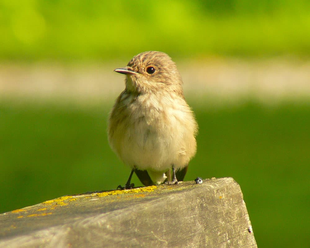 Old World flycatchers and chats