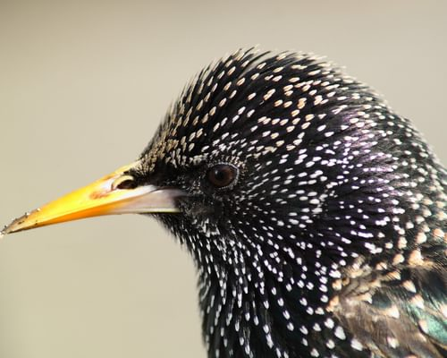 European Starling or Common Grackle: how to tell the difference?