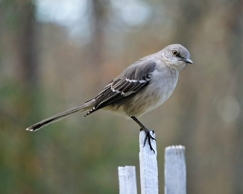 What is the State Bird of Arkansas? (And Why?)