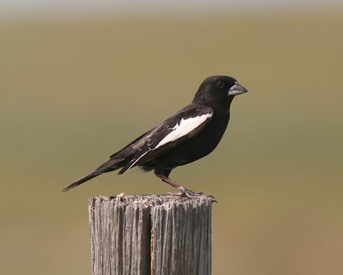 What is the State Bird of Colorado? (And Why?)