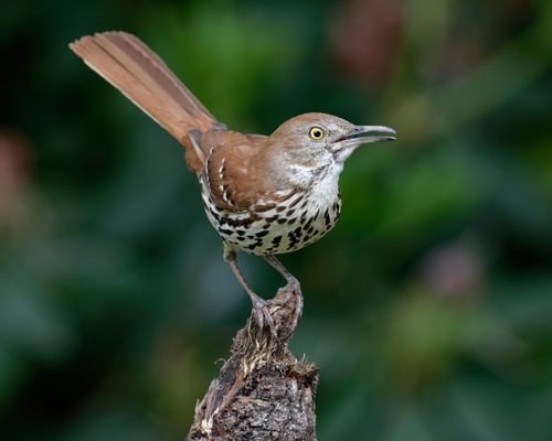 What is the State Bird of Georgia? (And Why?)