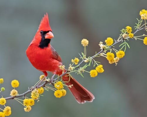 What is the State Bird of North Carolina? (And Why?)