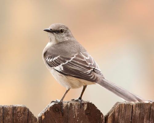 What is the State Bird of Texas? (And The Story Behind It)