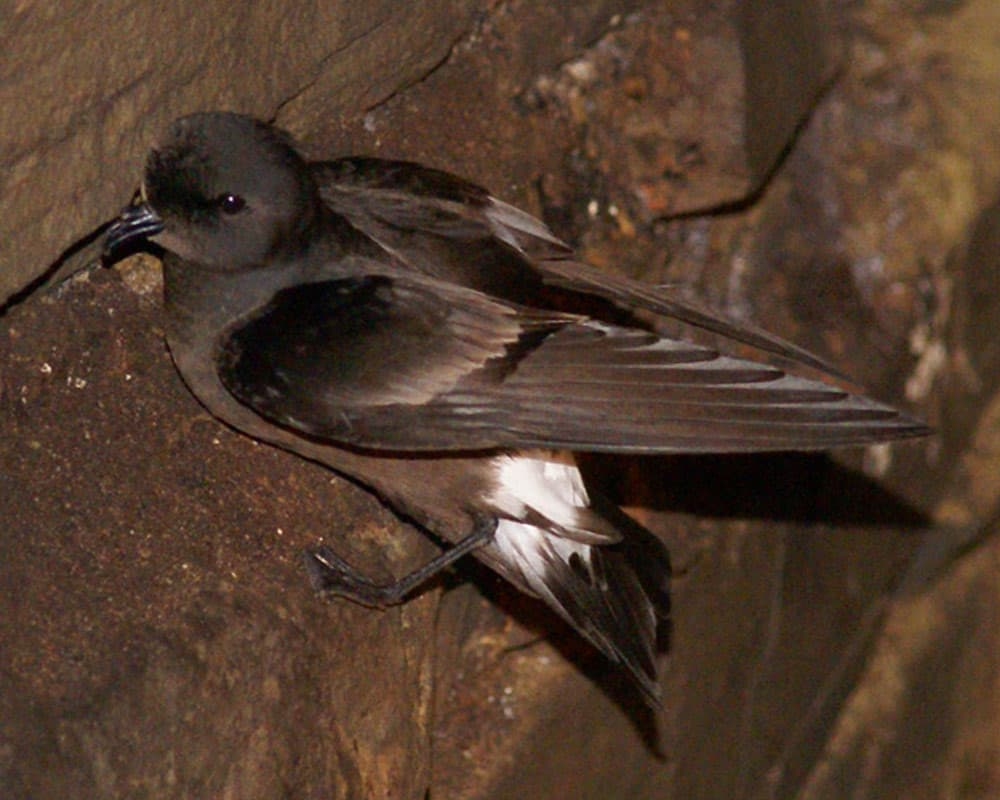Petrels and shearwaters