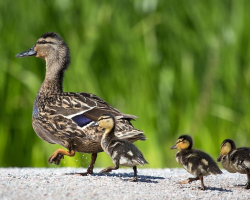 What Are Ducks' Feet Called?