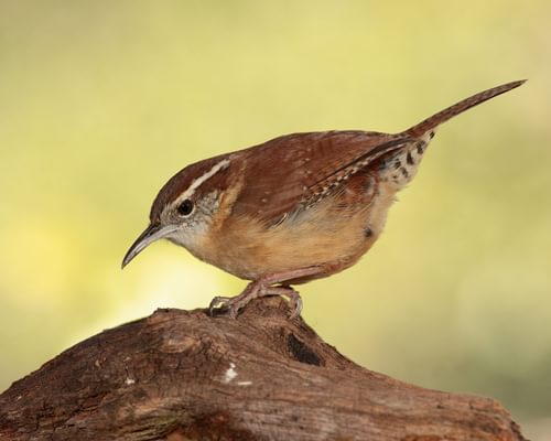 What Do Carolina Wrens Eat? (Complete Guide)