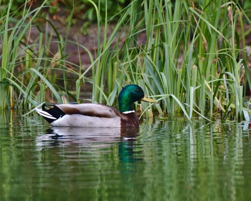 What Do Ducks Eat? (Complete Guide)