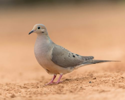 What Do Mourning Doves Eat? (Complete Guide)