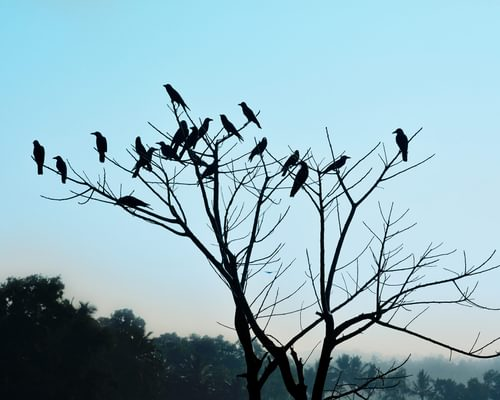 What is a Group of Crows Called? (And Why?)