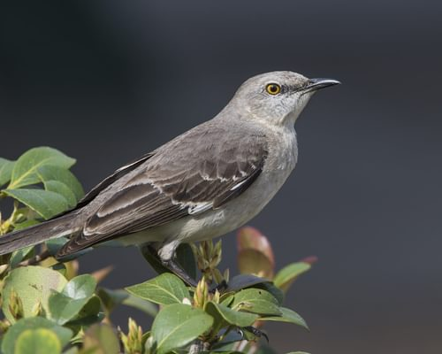 What is the State Bird of Florida? (And Why?)