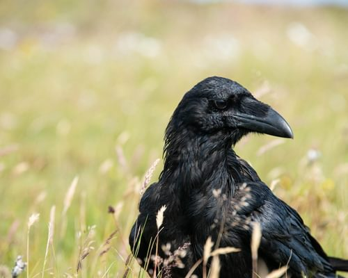 Why is a group of ravens called an unkindness?