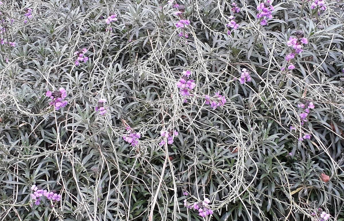 Barratt purple flowers